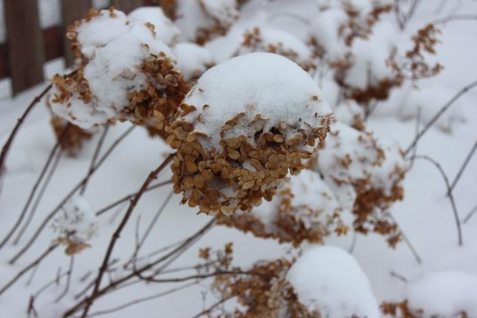 Vanilla Strawberry Hydrangea bloom covered in snow