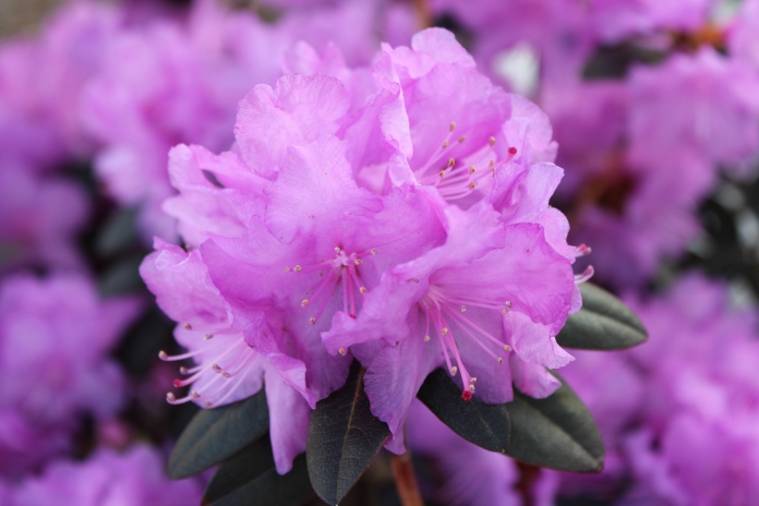 Bloom on one of the 6 PJM Rhododendrons we planted last spring   www.morewinelesswhines.com